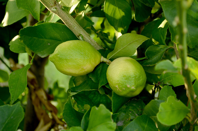 Para que sirven las cascaras de lim n primicia diario - Cascara de limon ...