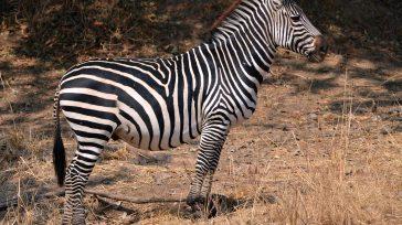 una cebra mantiene su género femenino aunque se trate de un macho. Lo mismo sucede con una ballena, una ardilla o una jirafa. En cambio, el topo puede ser una […]