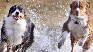 Nos hacen reír. Según un estudio publicado en la revista «Society & Animals», quienes poseen perros se ríen más. Para la investigación se pidió a las personas que tenían perros, […]