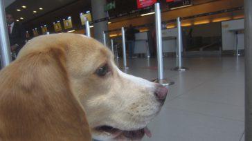 El Beagle, un perro alegre y cariñoso, prefiere la compañía. Esta raza puede adoptar comportamientos muy destructivos y ladrar en exceso si se dejan solos.      […]
