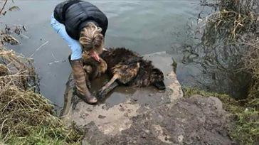 Mujer ve a perra inconsciente en el río – salta dentro y nota que su correa está atada a una roca, otra de las crueldades humanas.    Esta […]