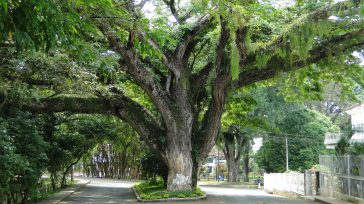 El Saman, es el árbolque identifica a Santander de Quilachao en el departamento del Cauca.Este majestuoso árbol ha trascendido los linderos de las ciencias naturales y se ha convertido en […]