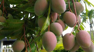 Los mangos de azúcar cultivos que se están extendiendo por buena parte del territorio    Se estima que en un plazo máximo de 3 meses estarán saliendo los […]